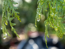 Close Up Of Water Drops On Cedar Branches
