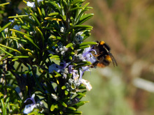Macro Close-up Photograph Of A Sprig Of Rosemary Bush (Salvia Rosmarinus) In Spring, Visited By A Bumble Bee (genus Bombus), With Shallow Depth Of Field And Focus On The Rosemary Plant