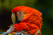 Portrait Of A Scarlet Macaw, Indonesia