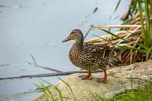 Mallard Duck Standing On Rock By River