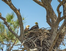 Low Angle Shot Of Two Eagles On Their Nest On Kennedy Space Center Under A Clear Sky