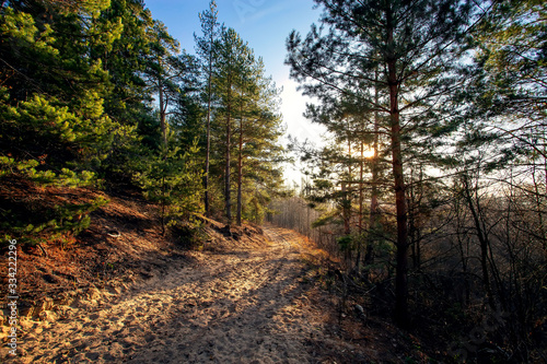 Pine forest with the last of the sun shining through the trees. Autumn season in Russia.