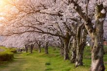 Cherry Blossom Trees In Hirosaki Park, Tohoku, Honshu, Japan
