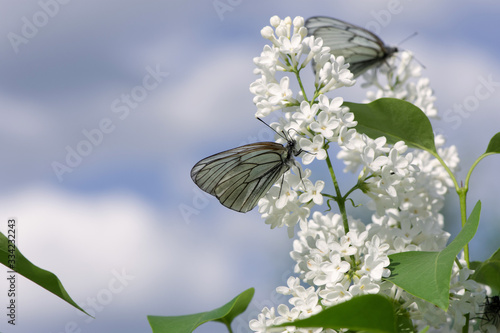 Beautiful butterfly Aporia crataegi closeup collects nectar from a bush of lilac Canvas Print