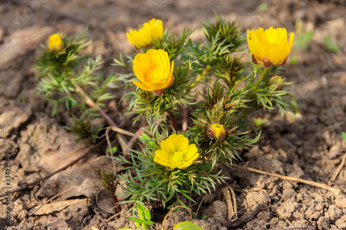 Photo Yellow adonis flower in garden on spring
