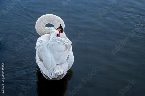 Photo white swan grooming his plumage