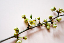 Branch Of Blooming Wild Plum Tree On Pink Backgroun, Top View, Flat Lay.
