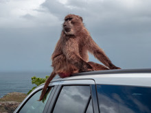 South African Baboons Are Dangerous When You Leave Your Car Open