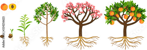 Life cycle of peach tree isolated on white background. Plant growing from seed to peach tree with ripe fruits and root system
