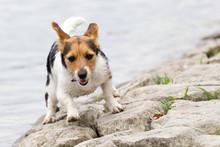 Jack Russel Terrier Mixed-bree...