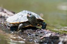 Northern Map Turtle Sunbathing On A Floating Log.