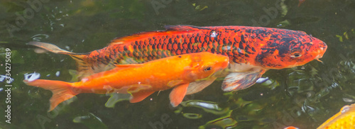 Background of colorful Koi fish ,Nature Wallpaper Mural