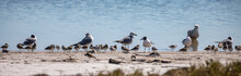 Gulls And Sandpipers On The Wa...