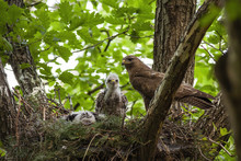 Family Of Common Buzzard, Buteo Buteo, With Adult And Little Chicks Sitting On Nest In Treetop. Bird Of Prey Together In Spring Forest. Wild Animal Baby With Mother In Nature.