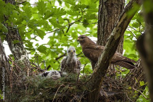 Photo Family of common buzzard, buteo buteo, with adult and little chicks sitting on nest in treetop