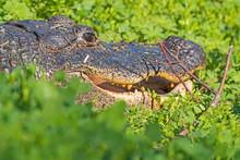 Alligator Peeking Through The ...