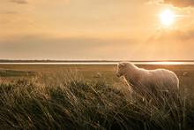 White Lamb In Tall Grass At Su...