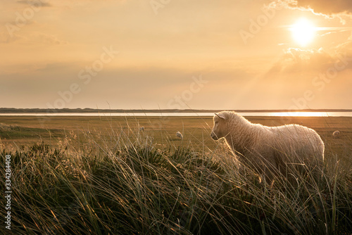 Fotografía White lamb in tall grass at sunrise on Sylt island