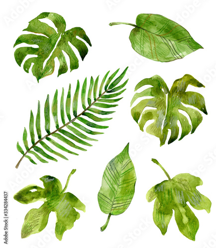 Fototapety, obrazy: Watercolor tropical plants: monstera, fig, palm. Hand drawn illustration isolated on white background. Set of green leaves.