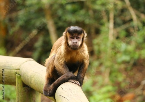"""Fotografering """"Look me in the eyes"""" - portrait of a grumpy capuchin"""