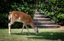 White Tailed Deer Eating Grass By The Steps At A Park In Rome Georgia.