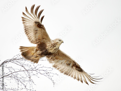 Valokuvatapetti Rough-legged Hawk in flight looking for prey