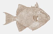 Grey Triggerfish, Balistes Cap...