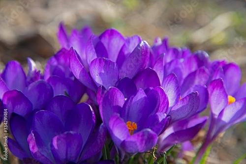 violet saffron under the spring sun