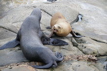 Seals Talking To Each Other On A Rock At A California Beach.