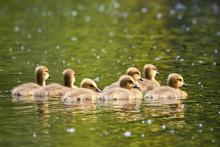 Canada Geese Goslings Swimming  (Branta Canadensis)