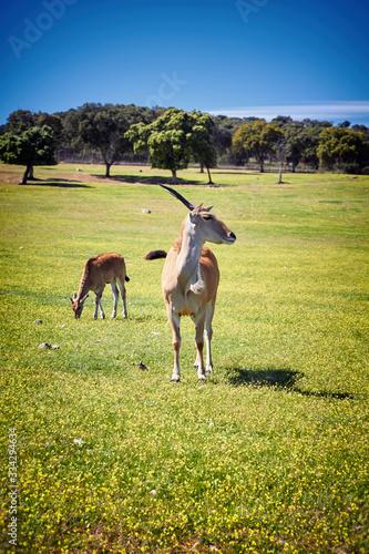 Photo The common eland (Taurotragus oryx)