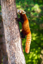 Cute Little Red Panda, Ailurus...