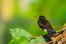 Male White-chinned Sapphire Hy...