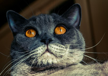 Cat With Big Fiery Eyes Gray ...