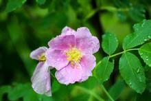 Wild Rose - Rosa, Photographed At Rydell Wildlife Refuge, Minnesota.