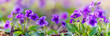 panoramic view of a Manchurian Violet in the early spring.. field of wild flowers