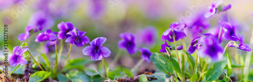 Fotografia panoramic view of a Manchurian Violet in the early spring