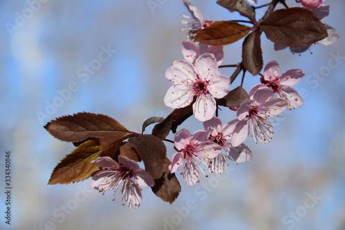 Ramo dell'albero da frutto in fioritura primaverile Wallpaper Mural