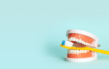 Jaw Model And Toothbrushes. Th...