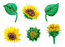 Set Of Watercolor Sunflowers A...