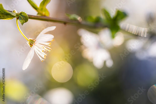 Foto Apple bud blooming and sun light illuminating the blossom in spring