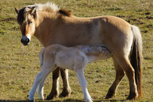 Fjord Horse With Drinking Foal