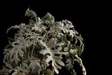 Silver Ragwort Or Dusty Miller Plant Leaves Against A Black Background