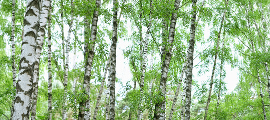 Naklejka Do kuchni nature background. Summer landscape with birch forest. White birches with green leaves. banner. copy space