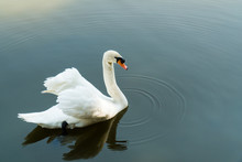 Mute Swan In Lake Background. White Swan Swimming On Water. (Cygnus Olor)