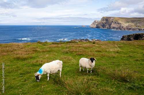 Ovejas en la costa oeste de Irlanda. Wild atlantic way. Canvas Print