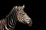 Fototapeta Zebra - Detail colour portrait zebra on the black background