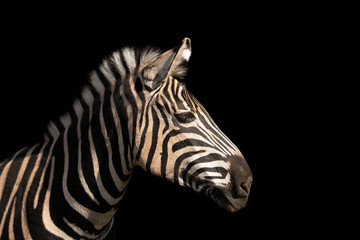 FototapetaDetail colour portrait zebra on the black background