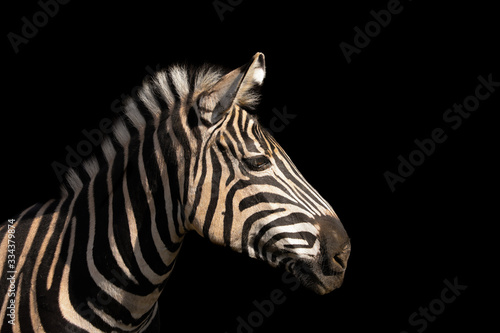 Fotomural Detail colour portrait zebra on the black background