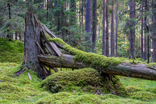 Cracked And Fallen Fir Tree Covered In Moss